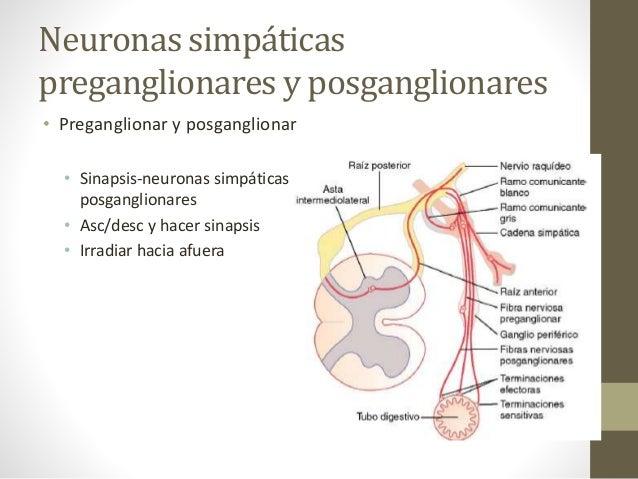 Sistema nervioso autónomo y la médula suprarrenal