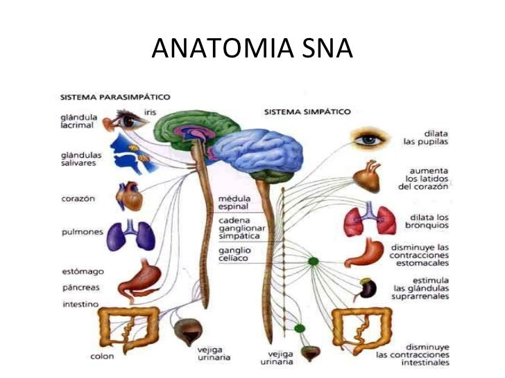 Sistema Nervioso Autonomo - Mind Map