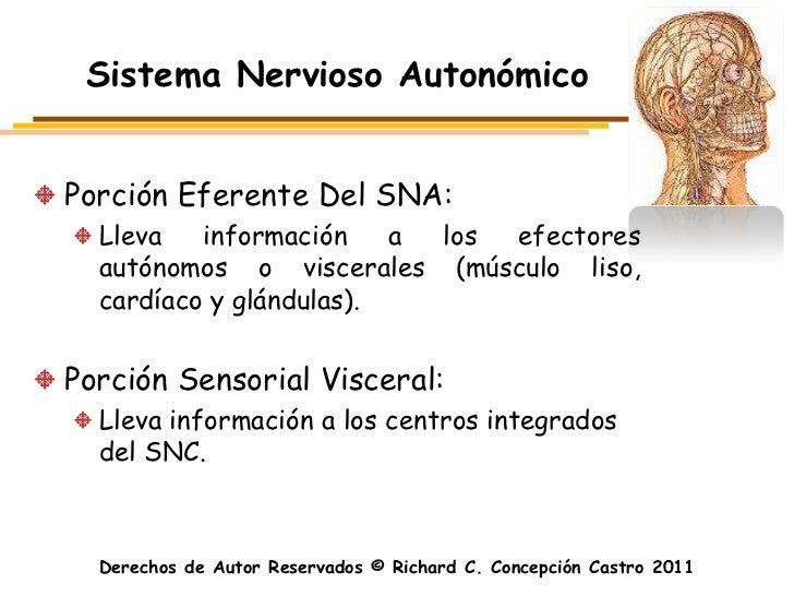 Sistema Nervioso AutonómicoPorción Eferente Del SNA:  Lleva   información    a los efectores  autónomos o viscerales (músc...