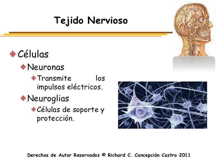 Tejido NerviosoCélulas  Neuronas     Transmite         los     impulsos eléctricos.  Neuroglias     Células de soporte y  ...