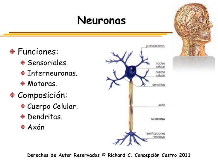 NeuronasFunciones:  Sensoriales.  Interneuronas.  Motoras.Composición:  Cuerpo Celular.  Dendritas.  Axón  Derechos de Aut...