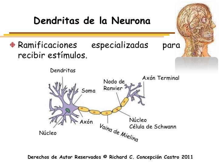 Dendritas de la NeuronaRamificaciones     especializadas                     pararecibir estímulos.          Dendritas    ...