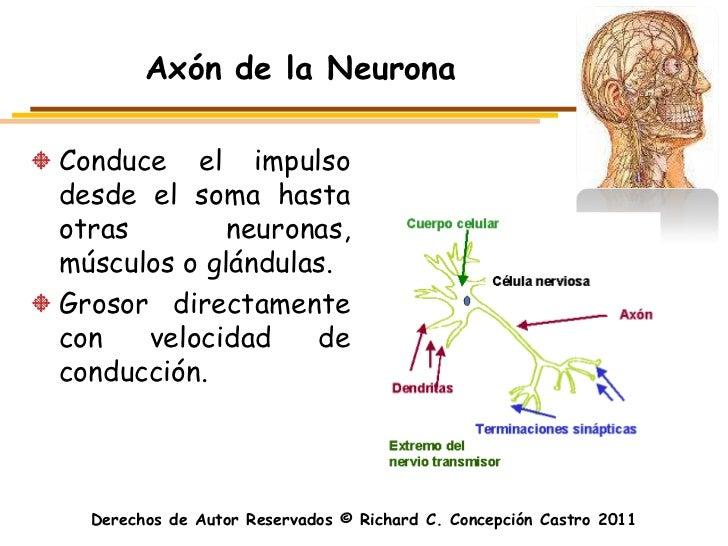 Axón de la NeuronaConduce el impulsodesde el soma hastaotras        neuronas,músculos o glándulas.Grosor directamentecon  ...