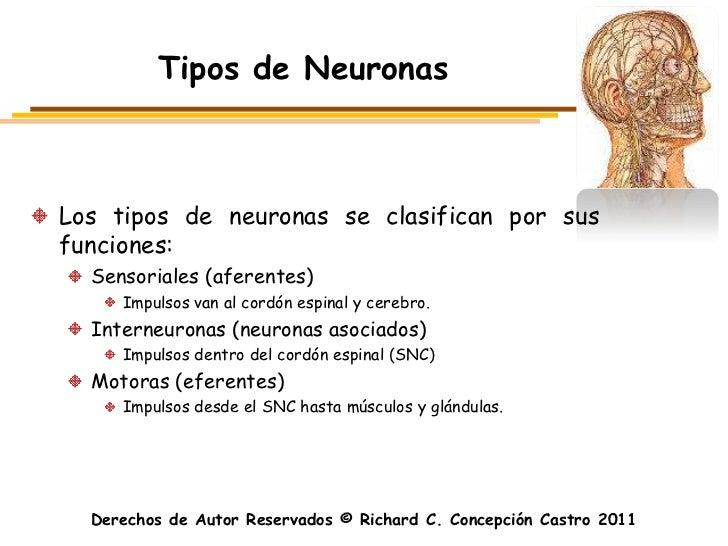 Tipos de NeuronasLos tipos de neuronas se clasifican por susfunciones:  Sensoriales (aferentes)     Impulsos van al cordón...