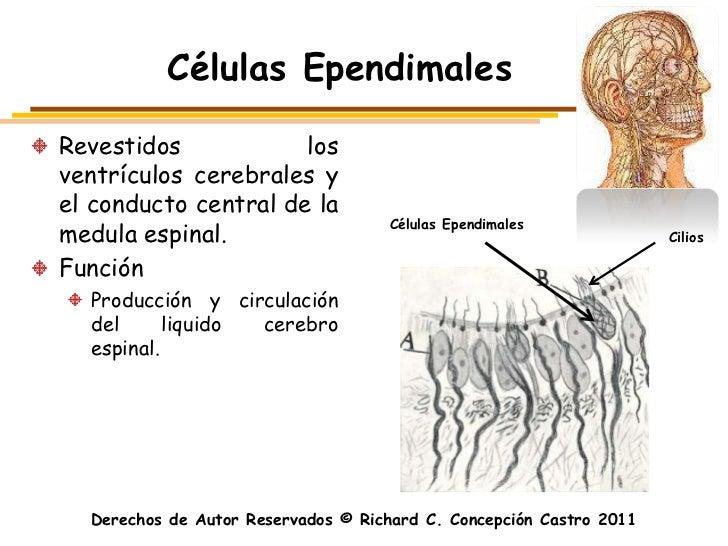 Células EpendimalesRevestidos            losventrículos cerebrales yel conducto central de la                             ...