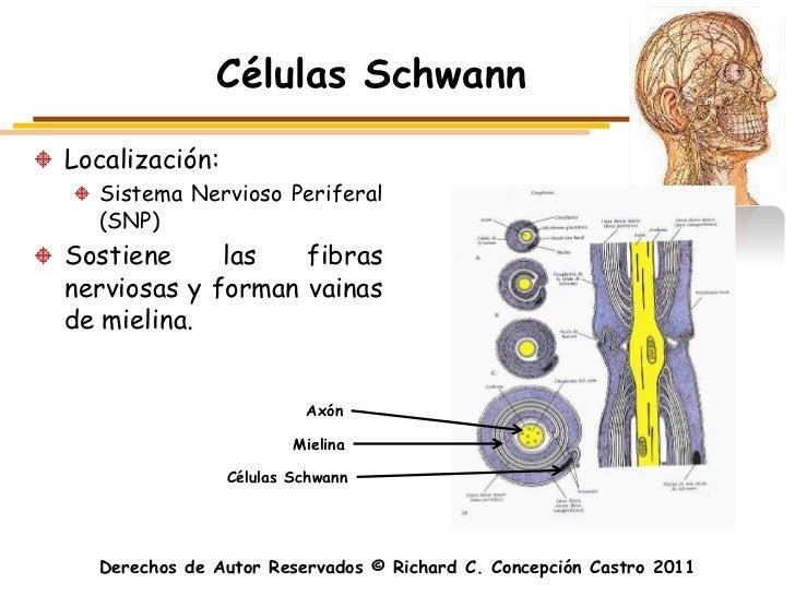 Células SchwannLocalización:  Sistema Nervioso Periferal  (SNP)Sostiene     las   fibrasnerviosas y forman vainasde mielin...