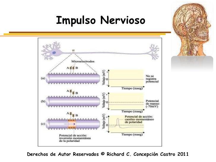 Impulso NerviosoDerechos de Autor Reservados © Richard C. Concepción Castro 2011