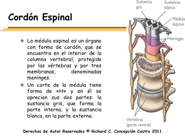 Cordón Espinal    La médula espinal es un órgano    con forma de cordón, que se    encuentra en el interior de la    colum...