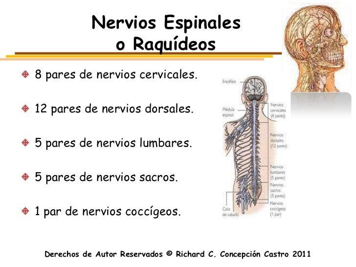Nervios Espinales              o Raquídeos8 pares de nervios cervicales.12 pares de nervios dorsales.5 pares de nervios lu...