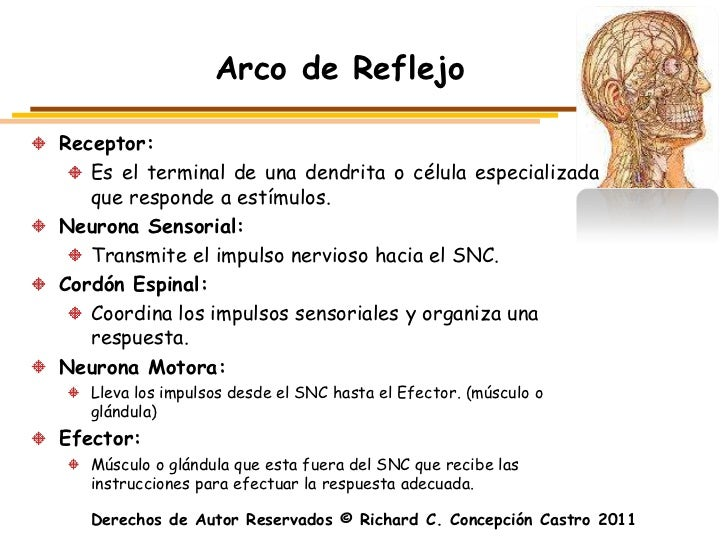 Arco de ReflejoReceptor:   Es el terminal de una dendrita o célula especializada   que responde a estímulos.Neurona Sensor...