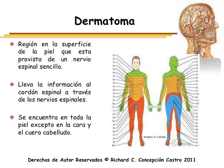 DermatomaRegión en la superficiede la piel que estaprovista de un nervioespinal sencillo.Lleva la información alcordón esp...