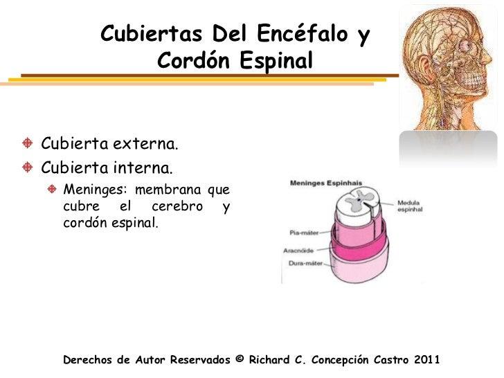 Cubiertas Del Encéfalo y             Cordón EspinalCubierta externa.Cubierta interna.  Meninges: membrana que  cubre el ce...