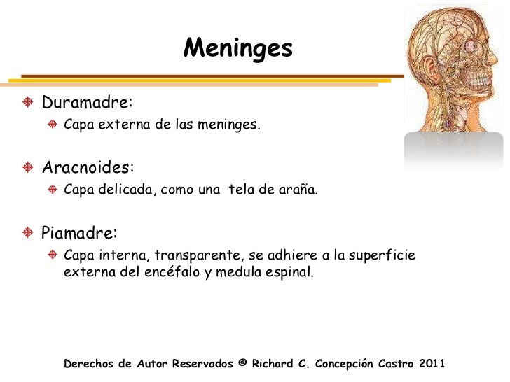 MeningesDuramadre:  Capa externa de las meninges.Aracnoides:  Capa delicada, como una tela de araña.Piamadre:  Capa intern...
