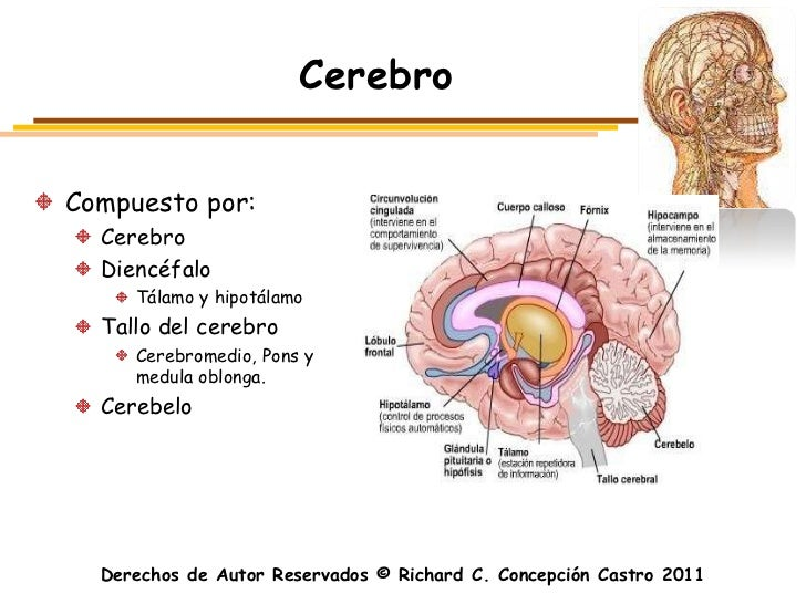 CerebroCompuesto por:  Cerebro  Diencéfalo     Tálamo y hipotálamo  Tallo del cerebro     Cerebromedio, Pons y     medula ...