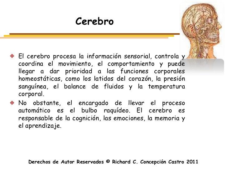 CerebroEl cerebro procesa la información sensorial, controla ycoordina el movimiento, el comportamiento y puedellegar a da...