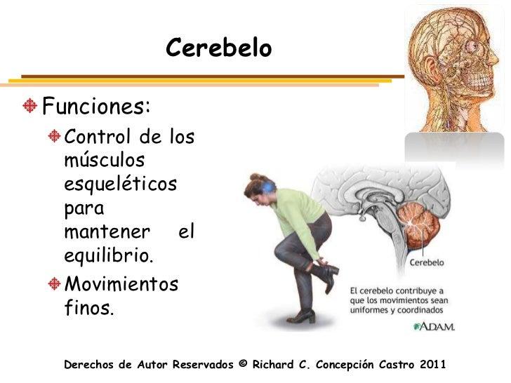 CerebeloFunciones:  Control de los  músculos  esqueléticos  para  mantener el  equilibrio.  Movimientos  finos.  Derechos ...