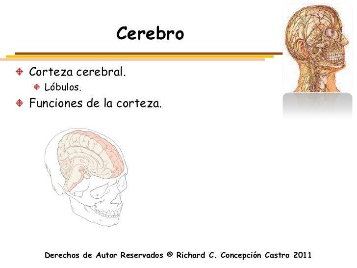 CerebroCorteza cerebral.  Lóbulos.Funciones de la corteza.  Derechos de Autor Reservados © Richard C. Concepción Castro 2011