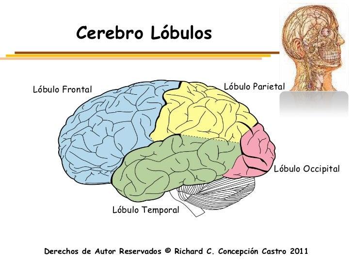 Cerebro LóbulosLóbulo Frontal                               Lóbulo Parietal                                               ...
