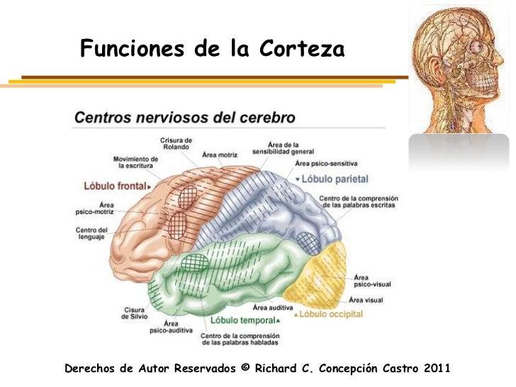 Funciones de la CortezaDerechos de Autor Reservados © Richard C. Concepción Castro 2011