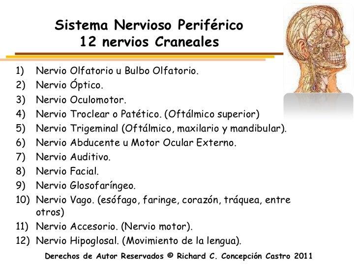 Sistema Nervioso Periférico            12 nervios Craneales1)  Nervio Olfatorio u Bulbo Olfatorio.2)  Nervio Óptico.3)  Ne...