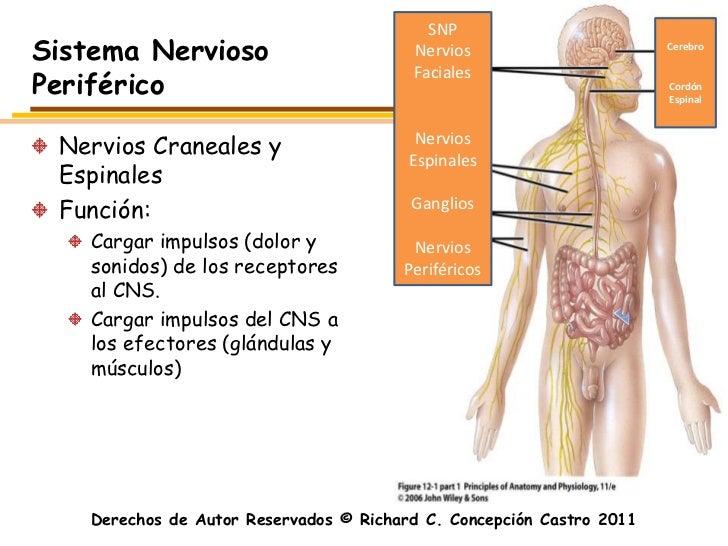 SNPSistema Nervioso                        Nervios                       CerebroPeriférico                                ...