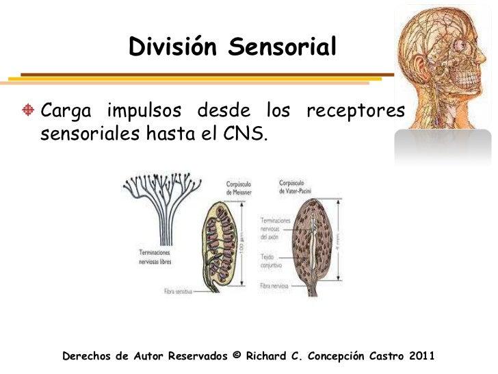 División SensorialCarga impulsos desde los receptoressensoriales hasta el CNS.  Derechos de Autor Reservados © Richard C. ...