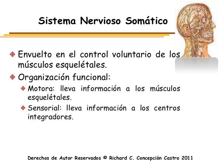 Sistema Nervioso SomáticoEnvuelto en el control voluntario de losmúsculos esquelétales.Organización funcional:  Motora: ll...