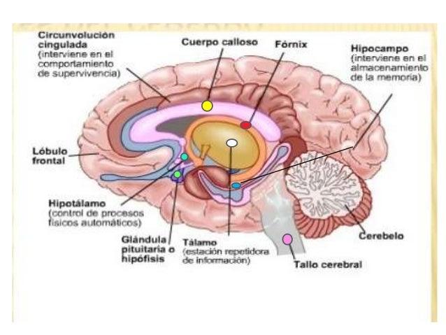 Sistema Nervioso Central Morfologia