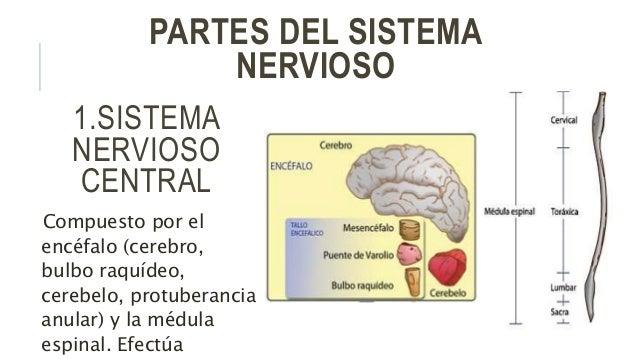 Sistema nervioso en el ser humano, sus fusiones y sus partes