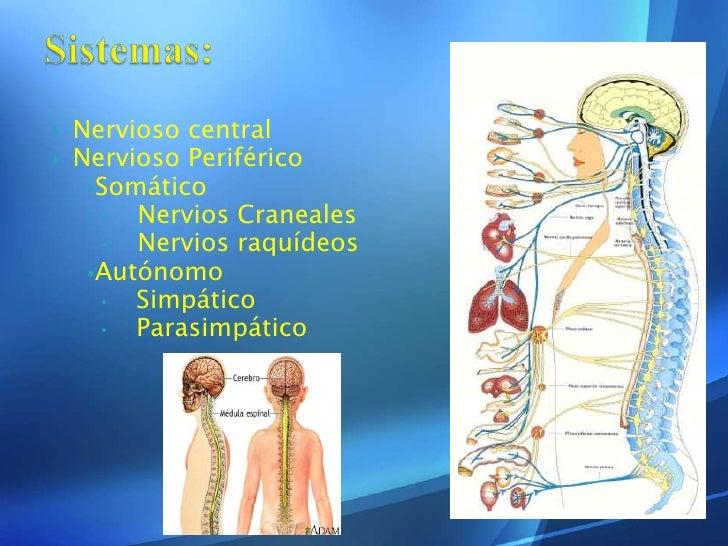 Sistema nervioso ppt[1] Slide 3