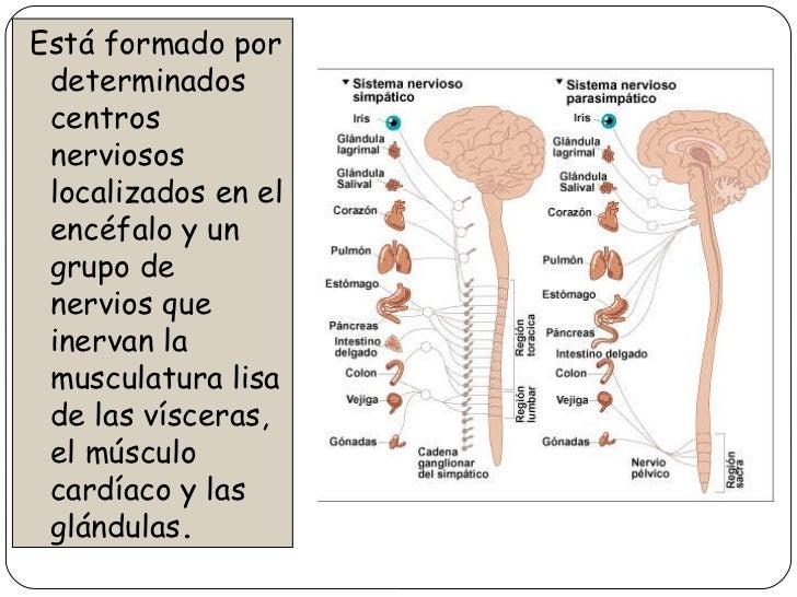 Sistema nervioso y endocrino for Como estan formados los suelos
