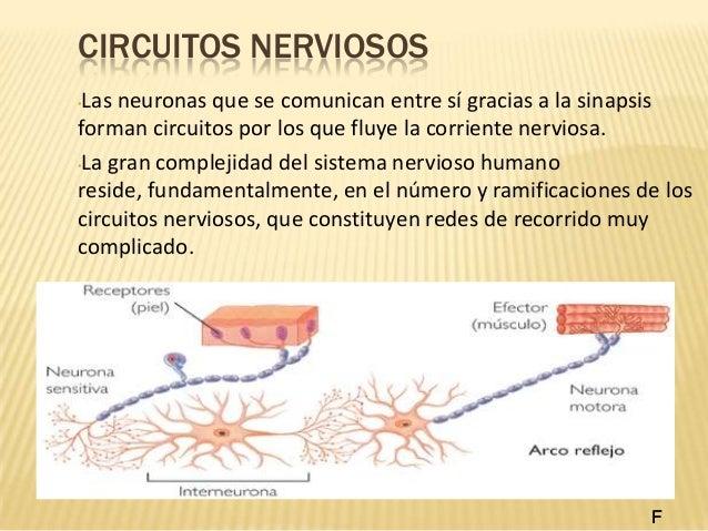 Circuito Nervioso : Sistema nervioso y endocrino terminado