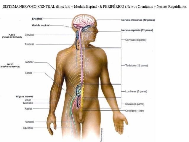 SISTEMA NERVOSO CENTRAL (Encéfalo + Medula Espinal) & PERIFÉRICO (Nervos Cranianos + Nervos Raquidianos