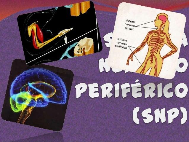 O sistema nervoso periférico é constituído pelos nervos, que são representantes dos axônios (fibras motoras) ou dos dendri...