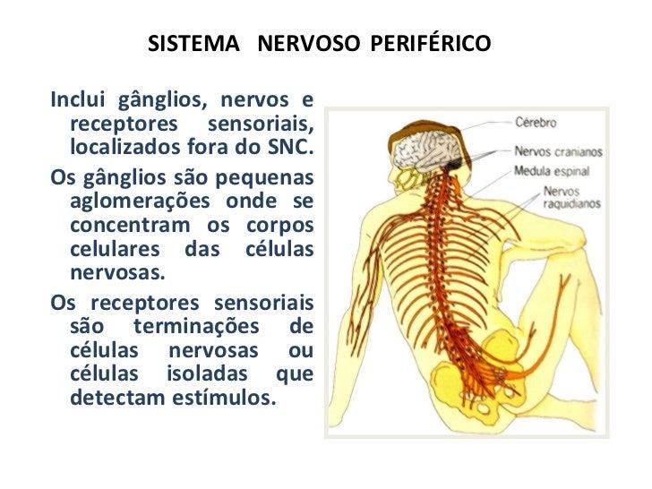 SISTEMA   NERVOSO   PERIFÉRICO <ul><li>Inclui gânglios, nervos e receptores sensoriais, localizados fora do SNC.  </li></u...