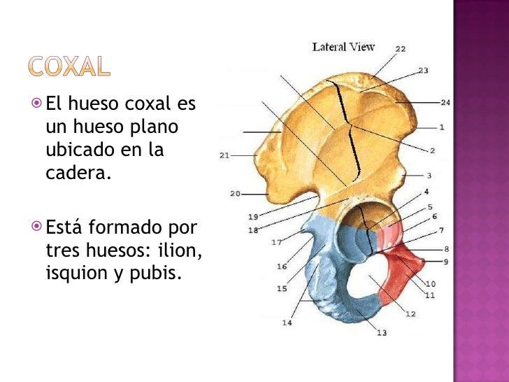 <ul><li>El hueso coxal es un hueso plano ubicado en la cadera.  </li></ul><ul><li>Está formado por tres huesos: ilion, isq...