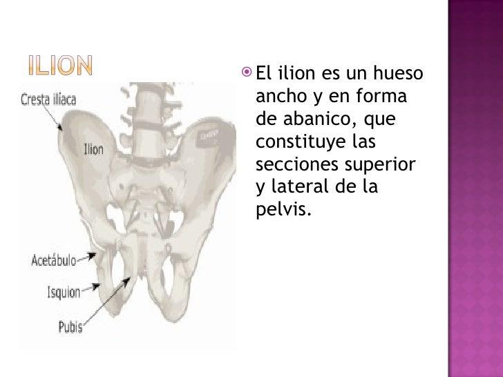 <ul><li>El ilion es un hueso ancho y en forma de abanico, que constituye las secciones superior y lateral de la pelvis.  <...
