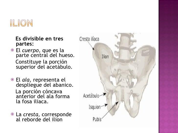 <ul><li>Es divisible en tres partes:  </li></ul><ul><li>El  cuerpo,  que es la parte central del hueso. </li></ul><ul><li>...