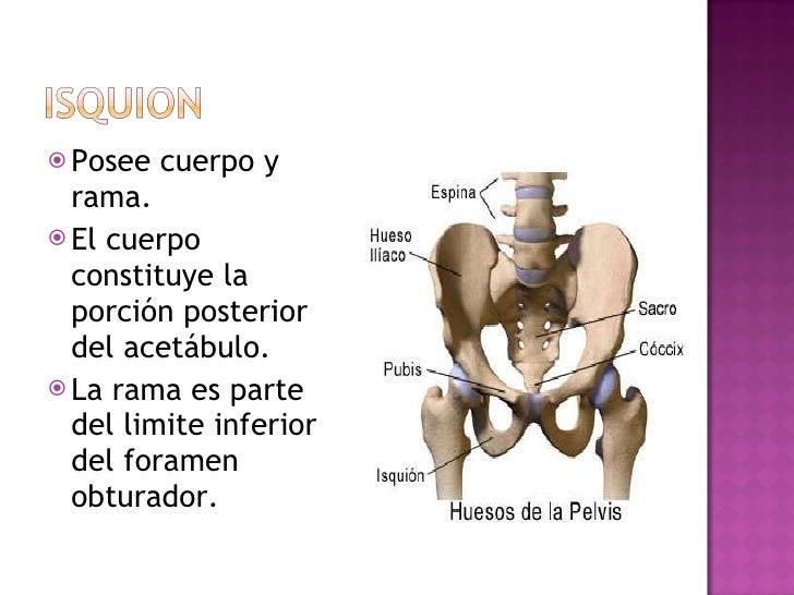<ul><li>Posee cuerpo y rama. </li></ul><ul><li>El cuerpo constituye la porción posterior del acetábulo. </li></ul><ul><li>...