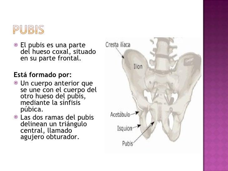 <ul><li>El pubis es una parte del hueso coxal, situado en su parte frontal. </li></ul><ul><li>Está formado por: </li></ul>...