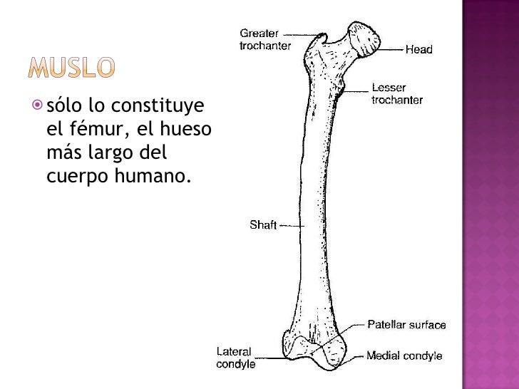 <ul><li>sólo lo constituye el fémur, el hueso más largo del cuerpo humano. </li></ul>