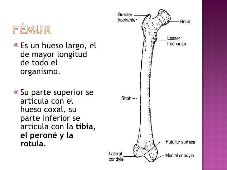 <ul><li>Es un hueso largo, el de mayor longitud de todo el organismo. </li></ul><ul><li>Su parte superior se articula con ...