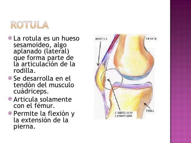 <ul><li>La rotula es un hueso sesamoideo, algo aplanado (lateral) que forma parte de la articulación de la rodilla.  </li>...