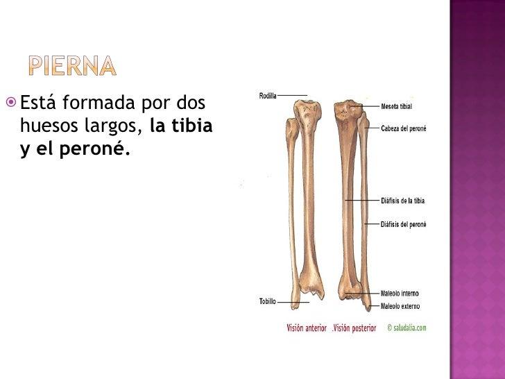 <ul><li>Está formada por dos huesos largos,  la tibia y el peroné. </li></ul>