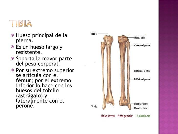 <ul><li>Hueso principal de la pierna.  </li></ul><ul><li>Es un hueso largo y resistente. </li></ul><ul><li>Soporta la mayo...