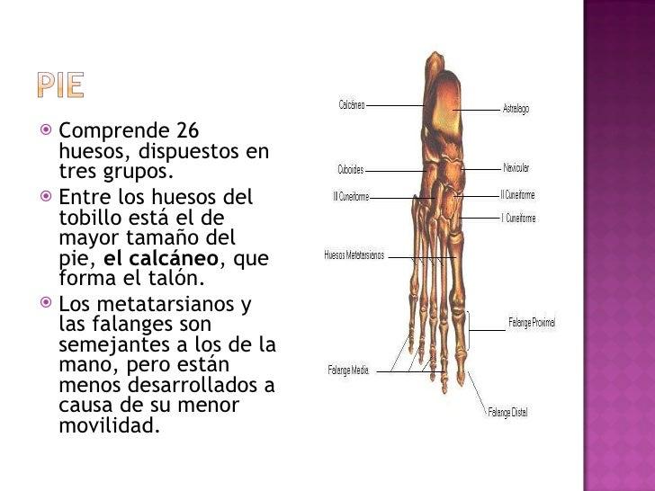 <ul><li>Comprende 26 huesos, dispuestos en tres grupos.  </li></ul><ul><li>Entre los huesos del tobillo está el de mayor t...