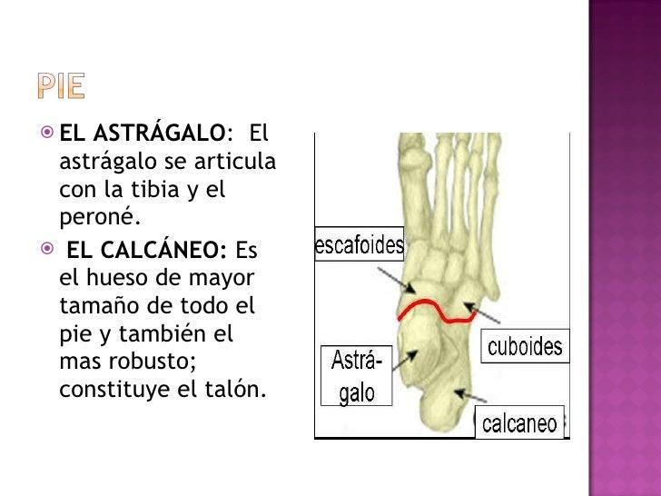 <ul><li>EL ASTRÁGALO : El astrágalo se articula con la tibia y el peroné.  </li></ul><ul><li>EL CALCÁNEO:  Es el hueso de...