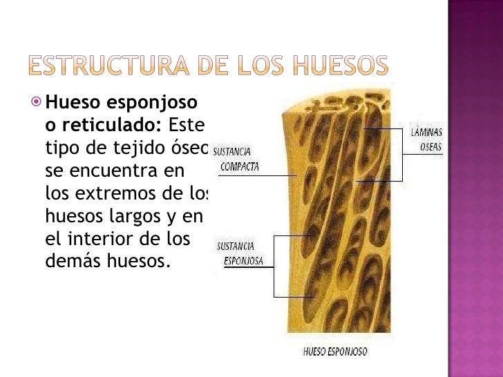 <ul><li>Hueso esponjoso o reticulado:  Este tipo de tejido óseo se encuentra en los extremos de los huesos largos y en el ...