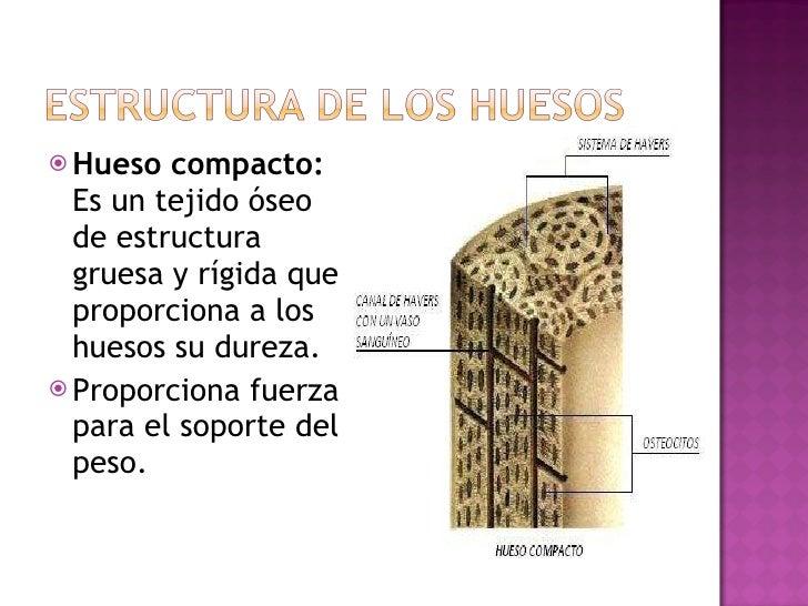 <ul><li>Hueso compacto:  Es un tejido óseo de estructura gruesa y rígida que proporciona a los huesos su dureza. </li></ul...