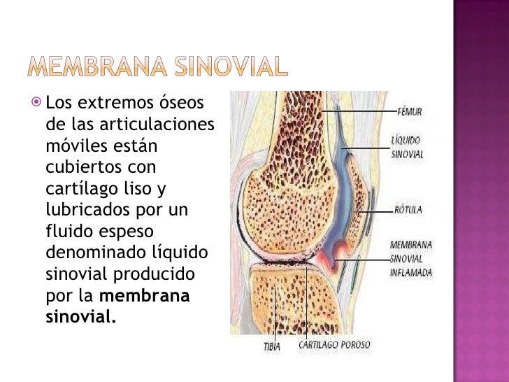 <ul><li>Los extremos óseos de las articulaciones móviles están cubiertos con cartílago liso y lubricados por un fluido esp...